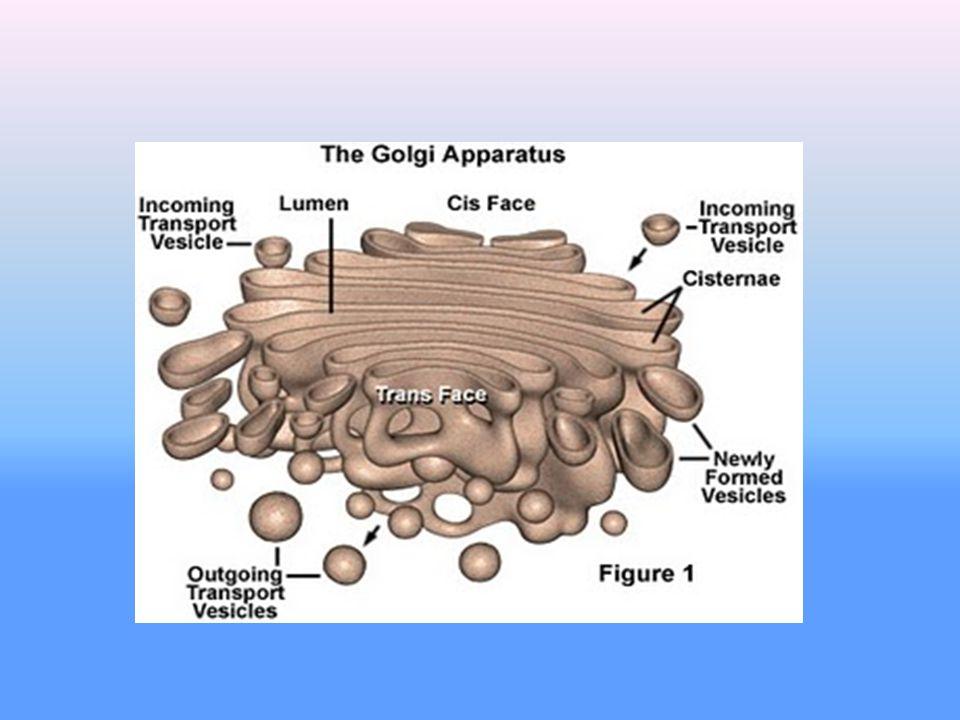 Fungsi badan golgi: 1. Tempat menampung hasil sintesa protein. 2. Membentuk kantung (vesikula) untuk sekresi. 3. Membentuk membran plasma. Kantung yan