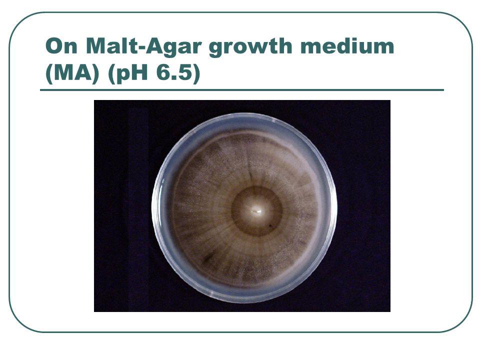 On Malt-Agar growth medium (MA) (pH 6.5)