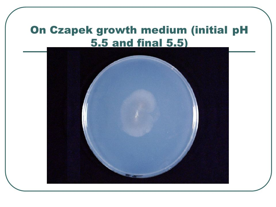 On Czapek growth medium (initial pH 5.5 and final 5.5)