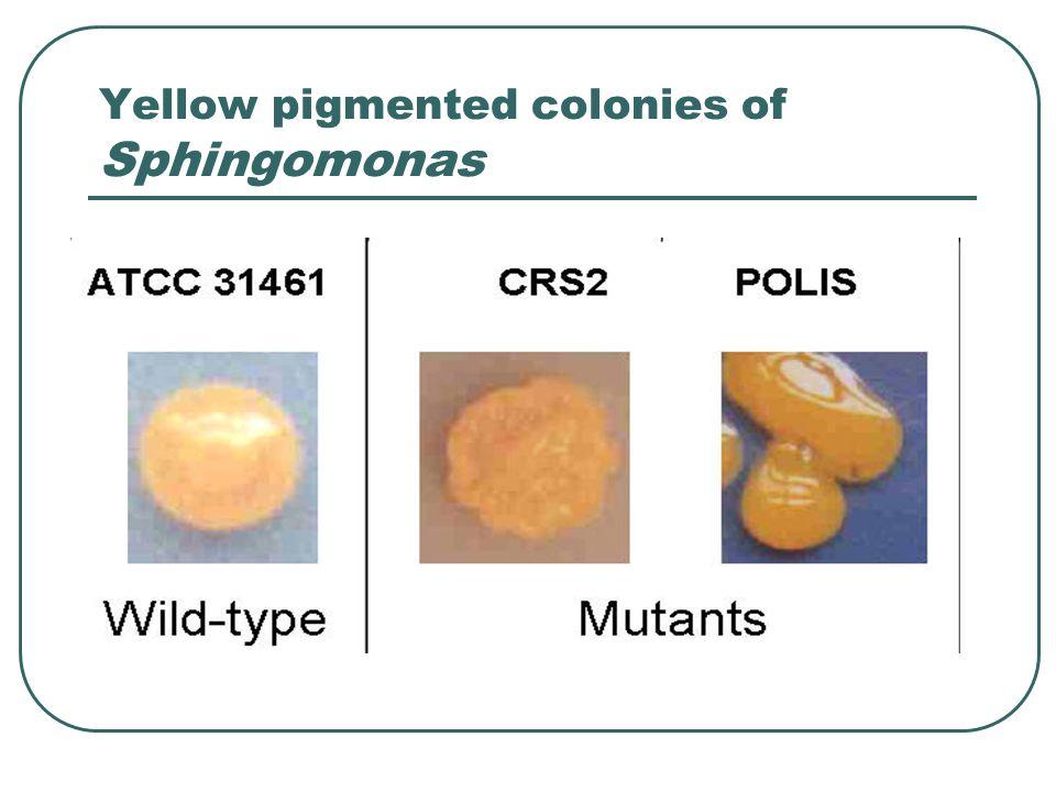 Yellow pigmented colonies of Sphingomonas