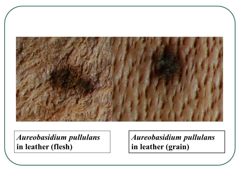 Aureobasidium pullulans (cotton) Aureobasidium pullulans in acidic paper