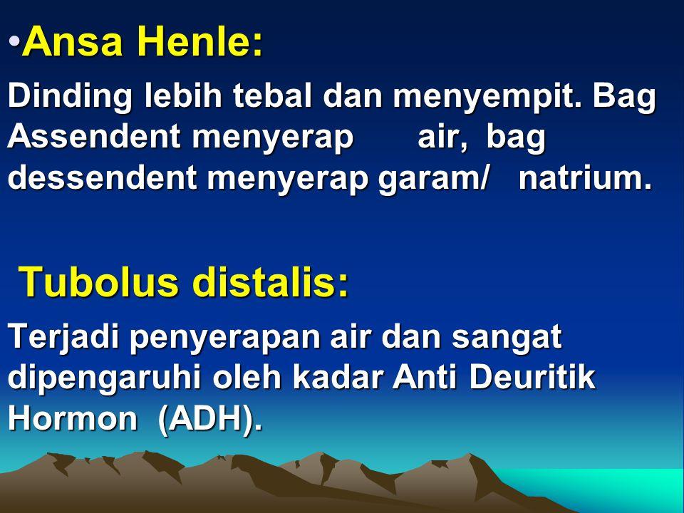 Ansa Henle:Ansa Henle: Dinding lebih tebal dan menyempit. Bag Assendent menyerap air, bag dessendent menyerap garam/ natrium. Tubolus distalis: Tubolu