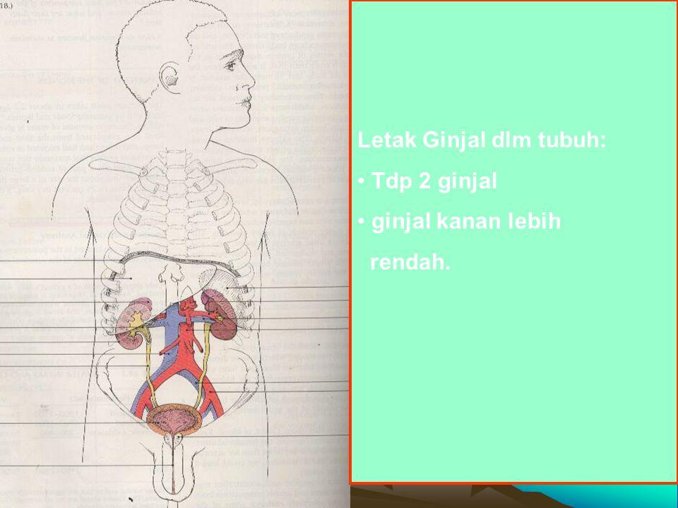 Letak Ginjal dlm tubuh: Tdp 2 ginjal ginjal kanan lebih rendah.