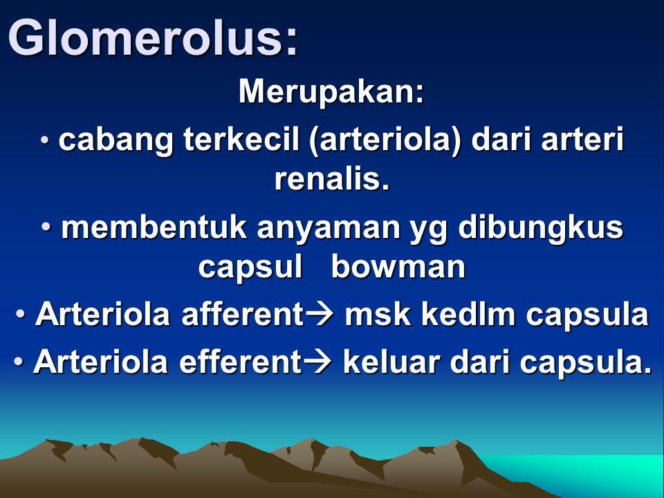 Glomerolus:Merupakan: cabang terkecil (arteriola) dari arteri renalis. cabang terkecil (arteriola) dari arteri renalis. membentuk anyaman yg dibungkus