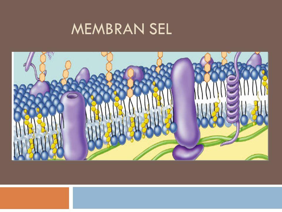 ii. Protein Enzim membran plasma  Chambers&Chambers(1961) pd sel yg terlibat transport aktif tdp enzim pd perm. Sel protein struktur protein enzim 