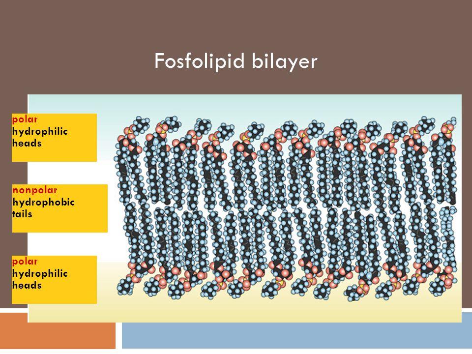 Membran sel merupakan lapisan ganda (bilayer) -terdiri dari lipid dan protein -model: mosaik fluida Phosphate Fatty acid Hydrophobic Phosphate group H