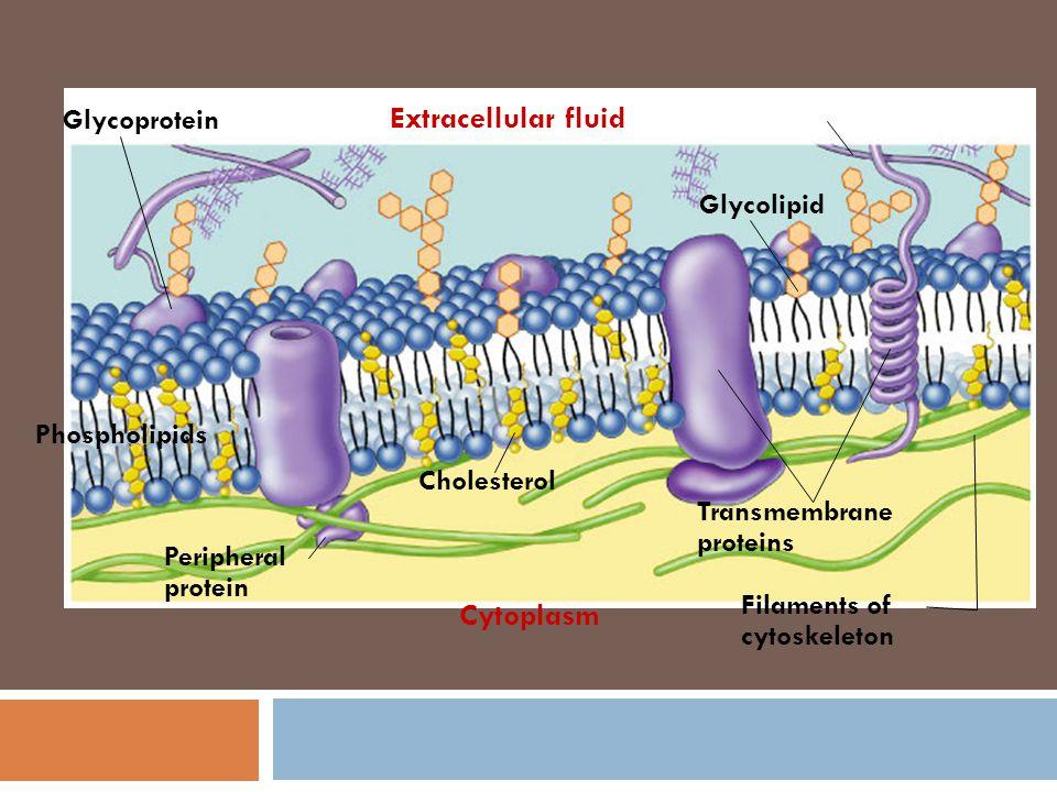 Pada tahun 1972, S.J. Singer & G. Nicolson mengusulkan model membran sel bahwa protein membran tersisip pada lapis bilayer fosfolipid Disebut dengan m