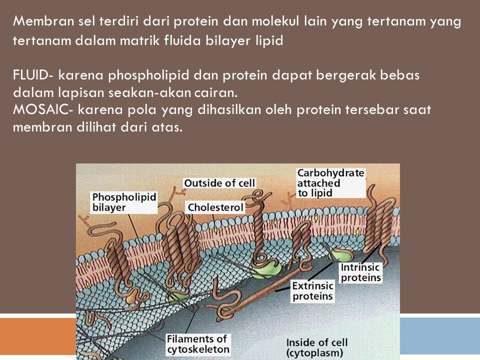 Extracellular fluid Cholesterol Cytoplasm Glycolipid Transmembrane proteins Filaments of cytoskeleton Peripheral protein Glycoprotein Phospholipids
