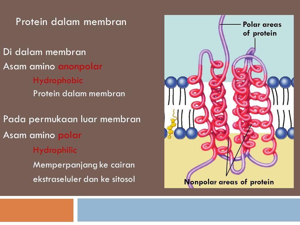 Struktur protein transmembran Model pita ini menjelaskan struktur sekunder α heliks dari bagian hidrofobik protein yang terletak hampir di dalam inti