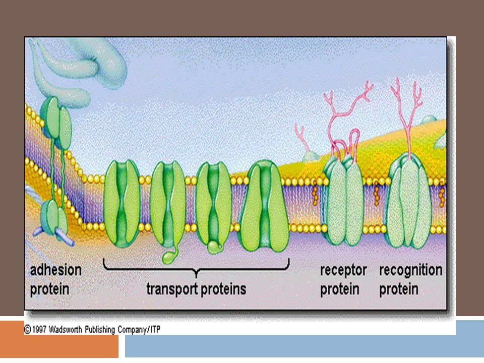 Protein dalam membran Di dalam membran Asam amino anonpolar Hydrophobic Protein dalam membran Pada permukaan luar membran Asam amino polar Hydrophilic
