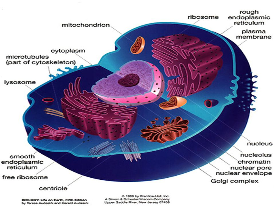 Asal pembentukan dinding sel  Retikulum endoplasma dan Aparat Golgi, mikrotubul dll.