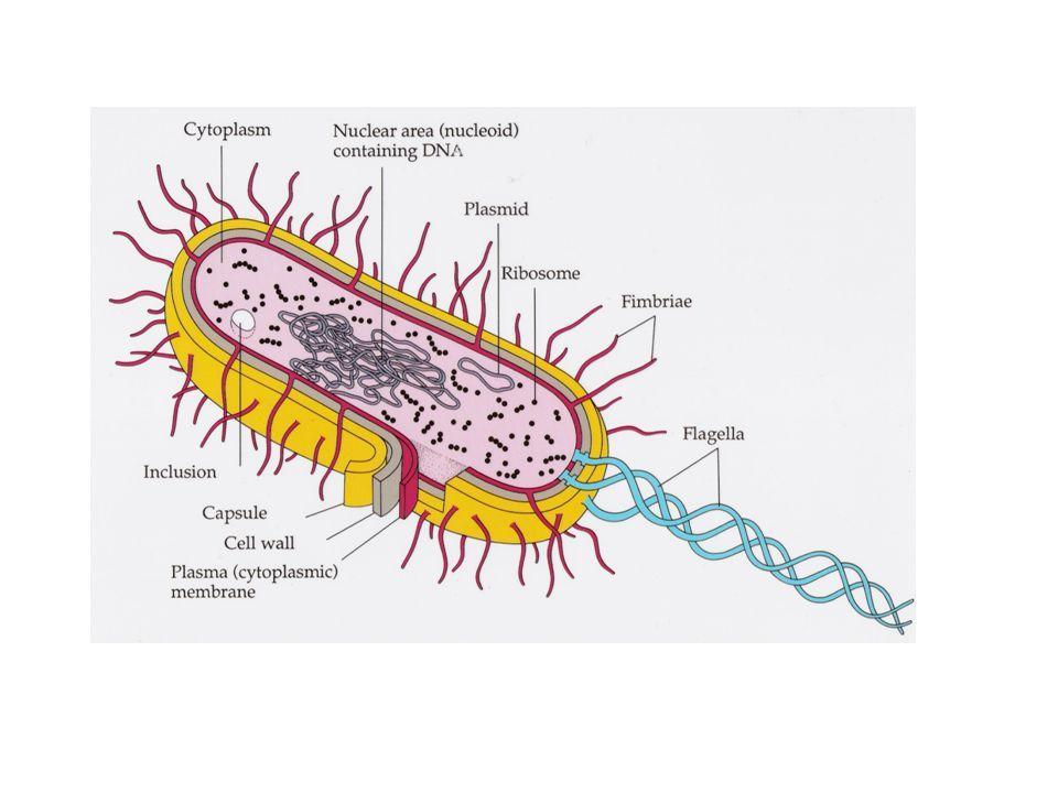 Pertumbuhan dinding sel  Pada Alga, pertumbuhan ditandai dg peluruhan bagian luar dan penambahan bagian dalam dgmateri baru  Pada tumbuhan tk. tingg