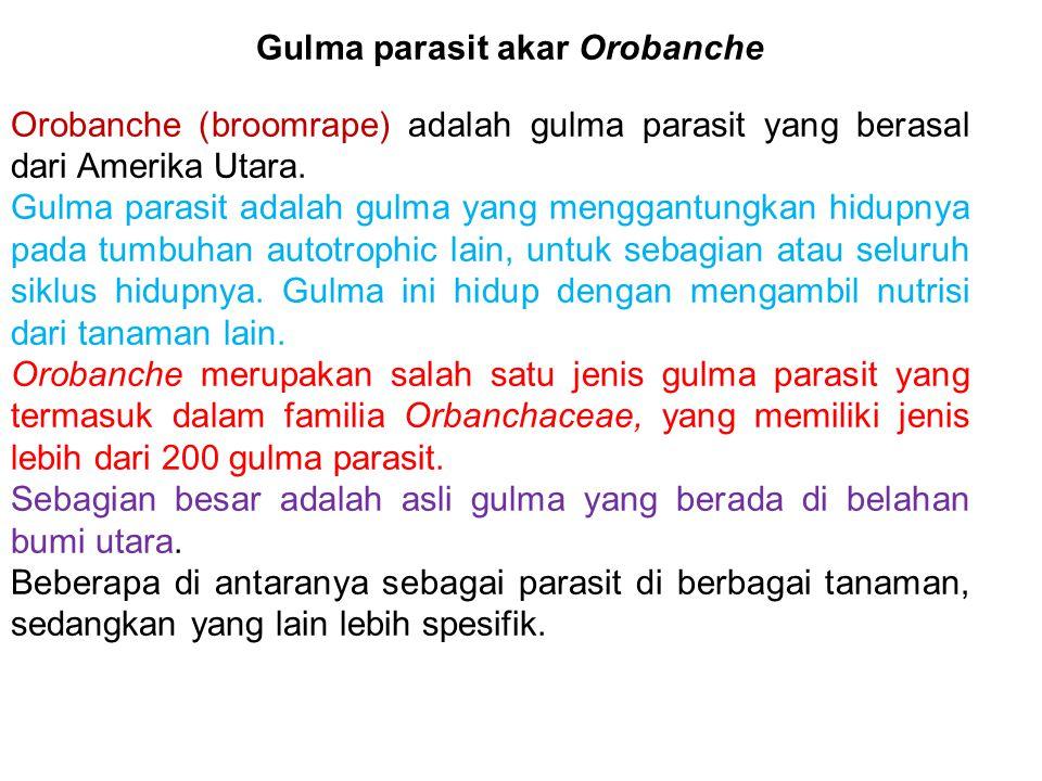 Gulma parasit akar Orobanche Orobanche (broomrape) adalah gulma parasit yang berasal dari Amerika Utara. Gulma parasit adalah gulma yang menggantungka