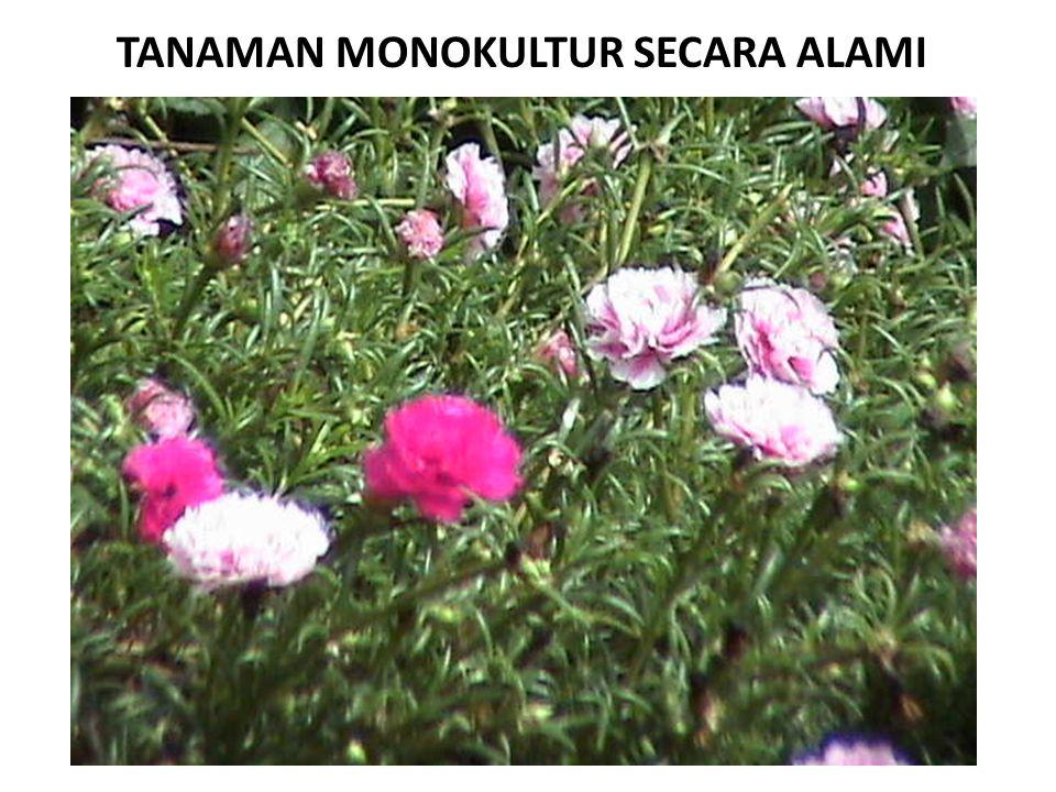 TANAMAN MONOKULTUR SECARA ALAMI