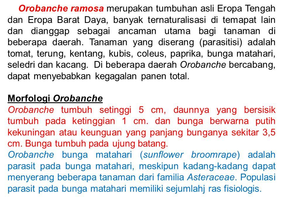 Orobanche ramosa merupakan tumbuhan asli Eropa Tengah dan Eropa Barat Daya, banyak ternaturalisasi di temapat lain dan dianggap sebagai ancaman utama