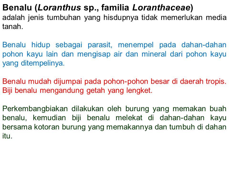 Benalu (Loranthus sp., familia Loranthaceae) adalah jenis tumbuhan yang hisdupnya tidak memerlukan media tanah. Benalu hidup sebagai parasit, menempel