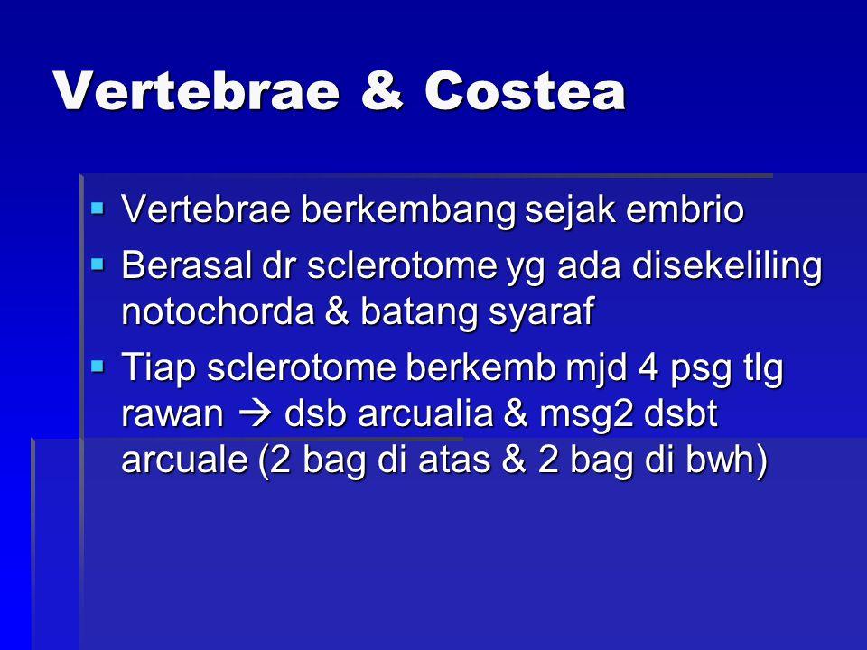 Vertebrae & Costea  Vertebrae berkembang sejak embrio  Berasal dr sclerotome yg ada disekeliling notochorda & batang syaraf  Tiap sclerotome berkemb mjd 4 psg tlg rawan  dsb arcualia & msg2 dsbt arcuale (2 bag di atas & 2 bag di bwh)
