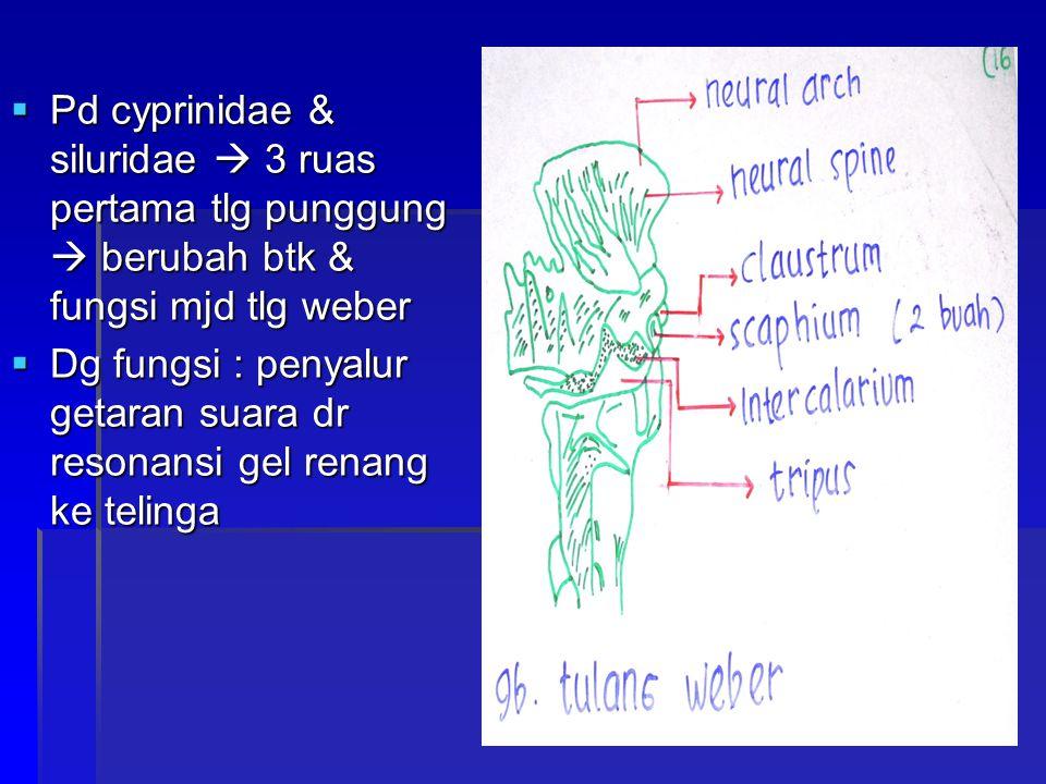  Pd cyprinidae & siluridae  3 ruas pertama tlg punggung  berubah btk & fungsi mjd tlg weber  Dg fungsi : penyalur getaran suara dr resonansi gel r