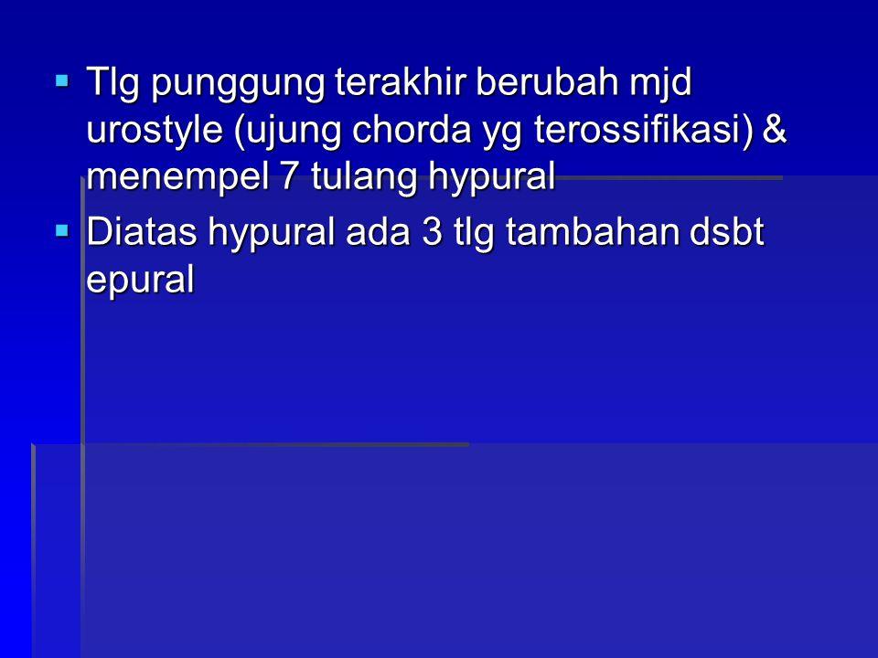  Tlg punggung terakhir berubah mjd urostyle (ujung chorda yg terossifikasi) & menempel 7 tulang hypural  Diatas hypural ada 3 tlg tambahan dsbt epural