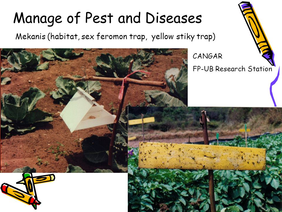 Mekanis (habitat, sex feromon trap, yellow stiky trap) Manage of Pest and Diseases CANGAR FP-UB Research Station