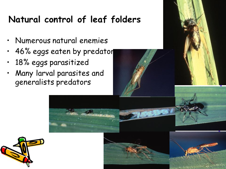 Natural control of leaf folders Numerous natural enemies 46% eggs eaten by predators 18% eggs parasitized Many larval parasites and generalists predat