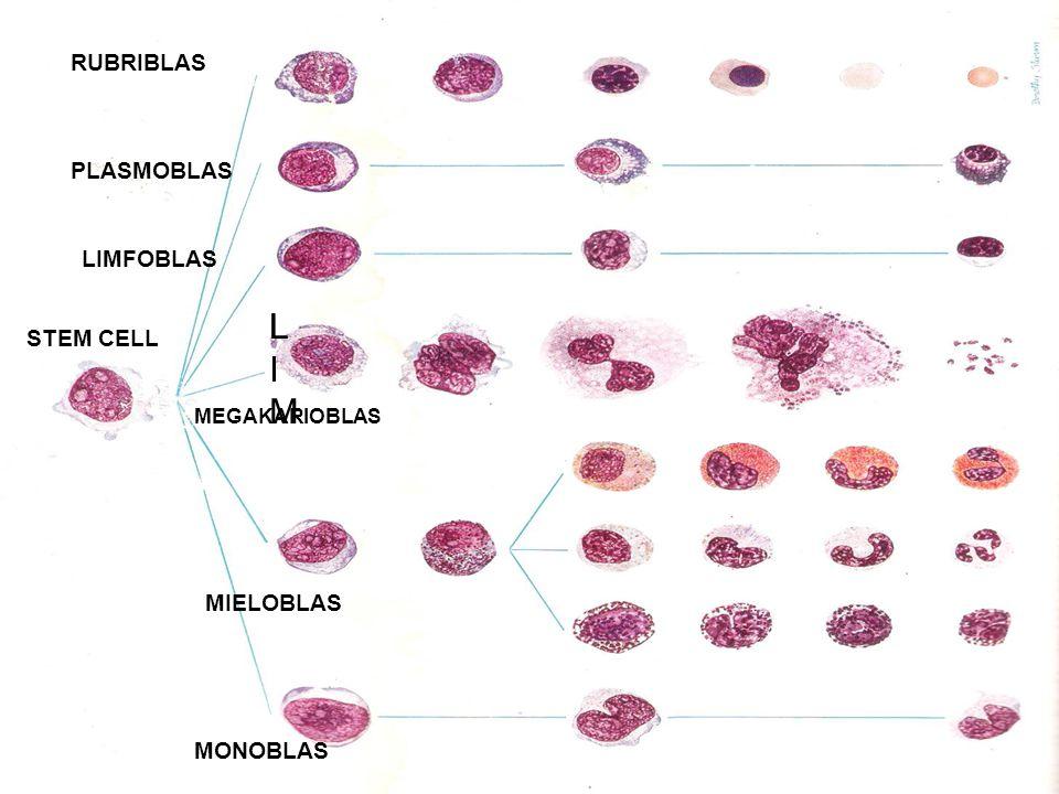 MONOBLAS MIELOBLAS MEGAKARIOBLAS STEM CELL LIMLIM LILI LIMFOBLAS RUBRIBLAS PLASMOBLAS