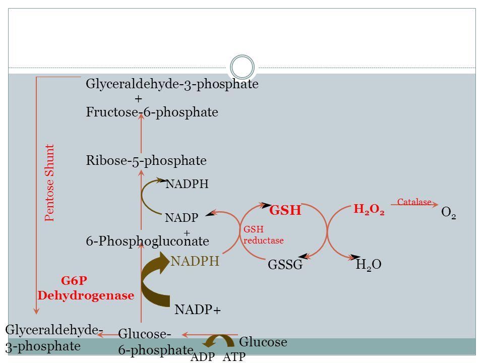 Glucose Glucose- 6-phosphate 6-Phosphogluconate Ribose-5-phosphate Fructose-6-phosphate Glyceraldehyde-3-phosphate + Glyceraldehyde- 3-phosphate Pentose Shunt ATPADP G6P Dehydrogenase NADPH NADP+ GSSG GSH reductase NADPH NADP + H2OH2O H2O2H2O2 O2O2 Catalase
