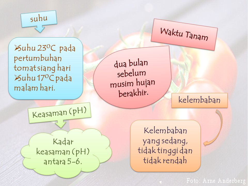 suhu  Suhu 23 0 C pada pertumbuhan tomat siang hari  Suhu 17 0 C pada malam hari.