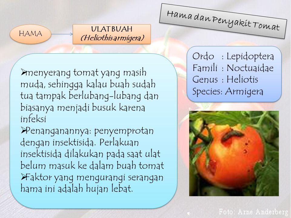 Hama dan Penyakit Tomat HAMA  menyerang tomat yang masih muda, sehingga kalau buah sudah tua tampak berlubang-lubang dan biasanya menjadi busuk karena infeksi  Penanganannya: penyemprotan dengan insektisida.