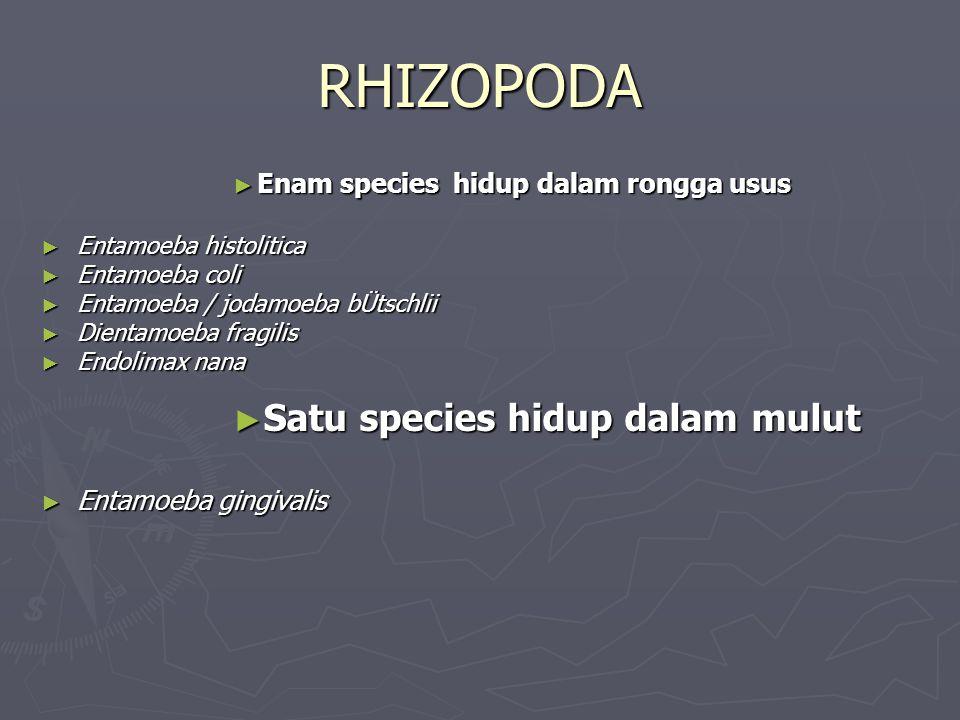 RHIZOPODA ► Enam species hidup dalam rongga usus ► Entamoeba histolitica ► Entamoeba coli ► Entamoeba / jodamoeba bÜtschlii ► Dientamoeba fragilis ► E