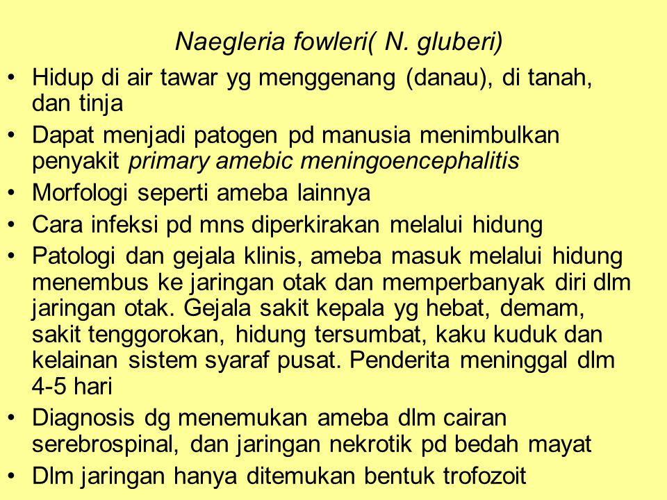 Naegleria fowleri( N. gluberi) Hidup di air tawar yg menggenang (danau), di tanah, dan tinja Dapat menjadi patogen pd manusia menimbulkan penyakit pri