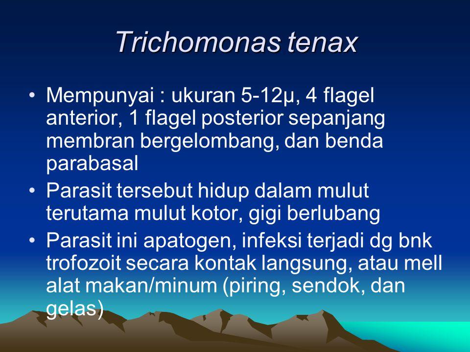 Trichomonas tenax Mempunyai : ukuran 5-12µ, 4 flagel anterior, 1 flagel posterior sepanjang membran bergelombang, dan benda parabasal Parasit tersebut