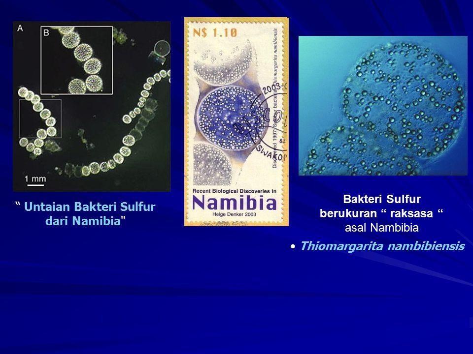 Bakteri Sulfur berukuran raksasa asal Nambibia Untaian Bakteri Sulfur dari Namibia Thiomargarita nambibiensis