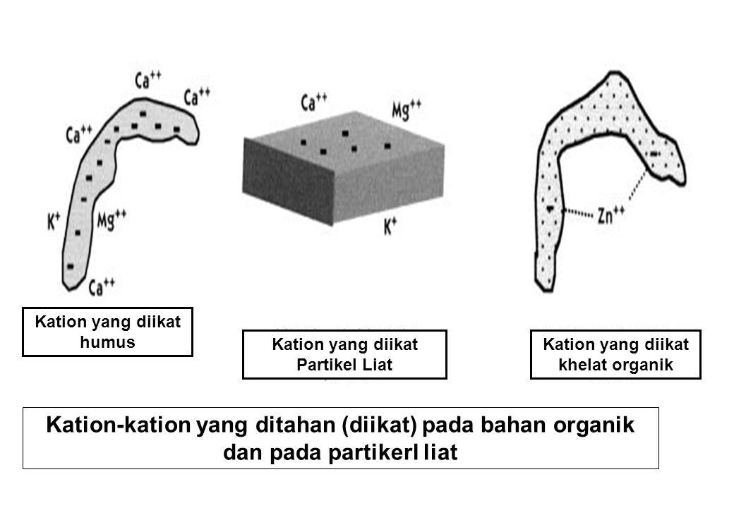 Kation-kation yang ditahan (diikat) pada bahan organik dan pada partikerl liat Kation yang diikat humus Kation yang diikat Partikel Liat Kation yang d