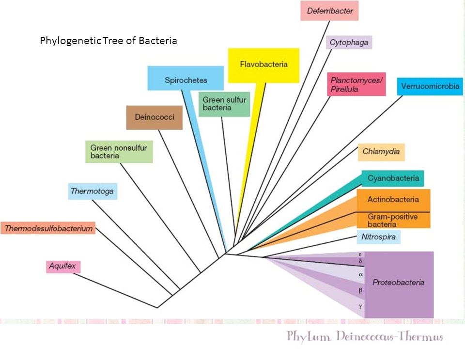 Phylogenetic Tree of Bacteria