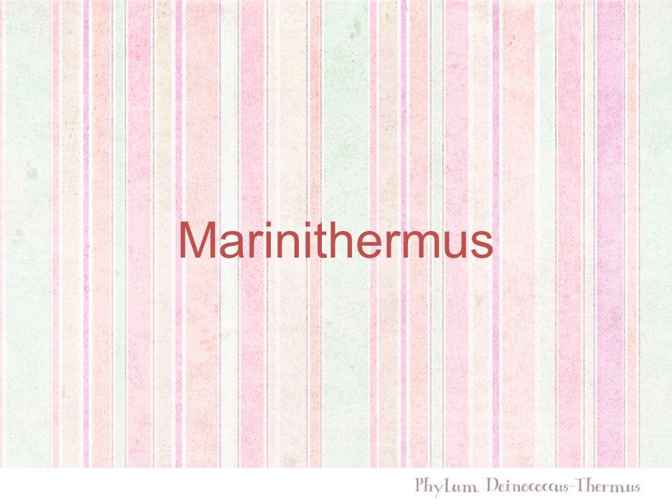 Banyak ditemukan pada deep-sea hydrothermal vent chimney Berasal dari kata marine (laut) dan thermus (panas)