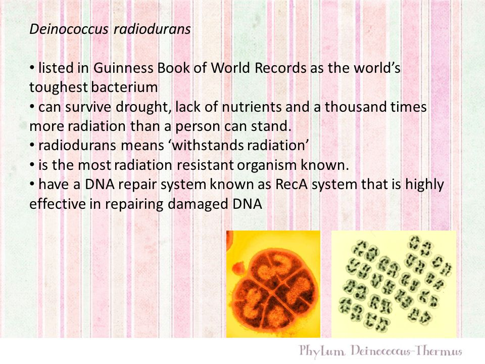 Deinococcus radiodurans listed in Guinness Book of World Records as the world's toughest bacterium can survive drought, lack of nutrients and a thousand times more radiation than a person can stand.