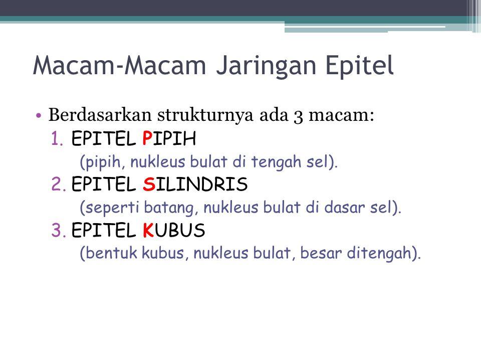 Macam-Macam Jaringan Epitel Berdasarkan strukturnya ada 3 macam: 1.EPITEL PIPIH (pipih, nukleus bulat di tengah sel). 2.EPITEL SILINDRIS (seperti bata