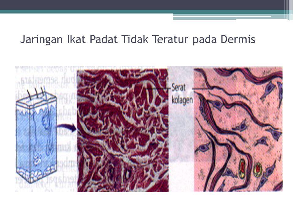 Jaringan Ikat Padat Tidak Teratur pada Dermis