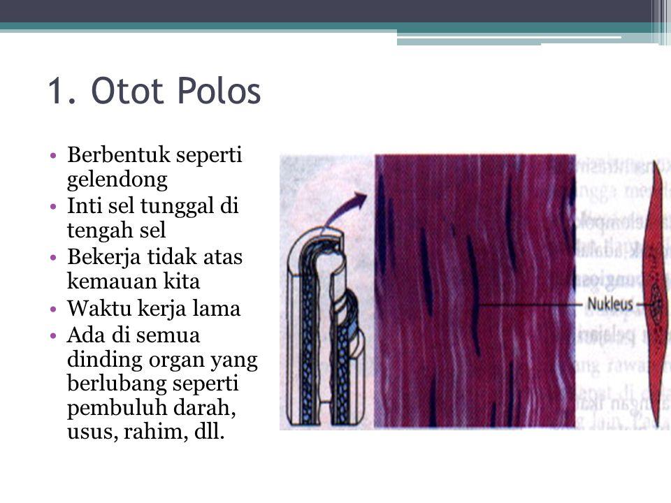 1. Otot Polos Berbentuk seperti gelendong Inti sel tunggal di tengah sel Bekerja tidak atas kemauan kita Waktu kerja lama Ada di semua dinding organ y