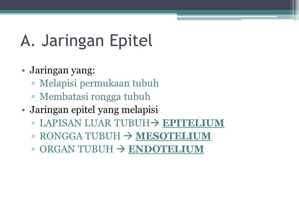 A. Jaringan Epitel Jaringan yang: ▫Melapisi permukaan tubuh ▫Membatasi rongga tubuh Jaringan epitel yang melapisi ▫LAPISAN LUAR TUBUH  EPITELIUM ▫RON