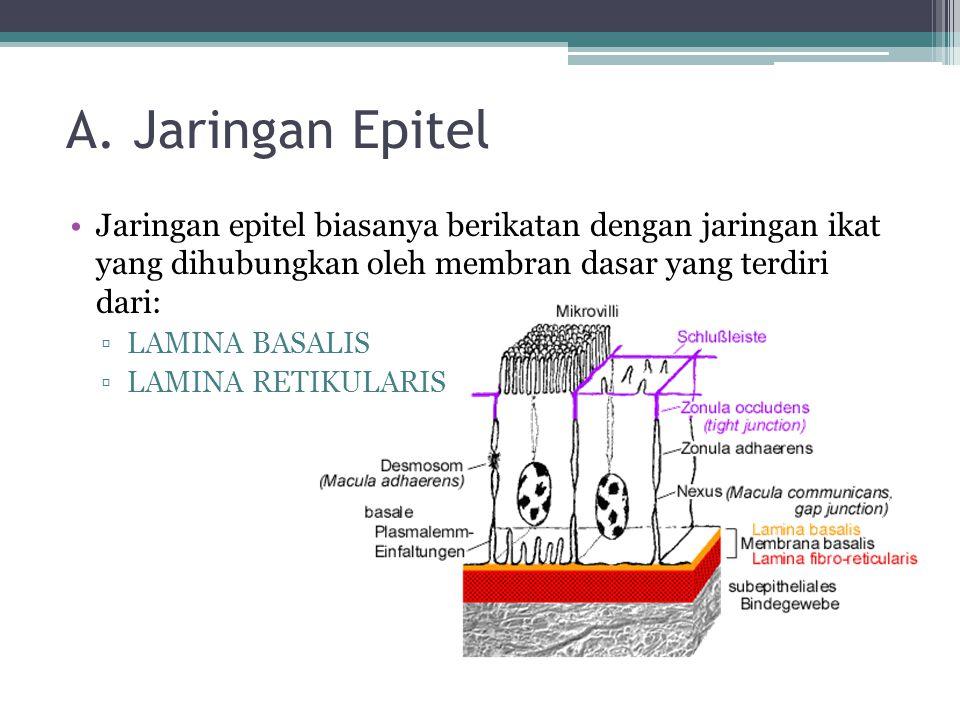 A. Jaringan Epitel Jaringan epitel biasanya berikatan dengan jaringan ikat yang dihubungkan oleh membran dasar yang terdiri dari: ▫LAMINA BASALIS ▫LAM