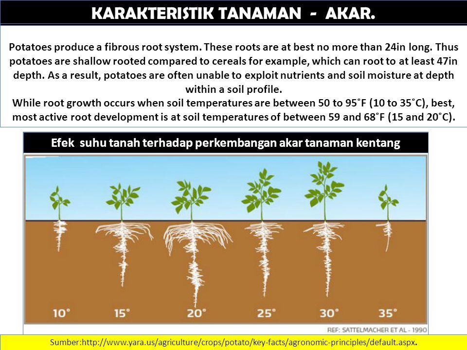 KARAKTERISTIK TANAMAN - AKAR. Sumber:http://www.yara.us/agriculture/crops/potato/key-facts/agronomic-principles/default.aspx. Potatoes produce a fibro