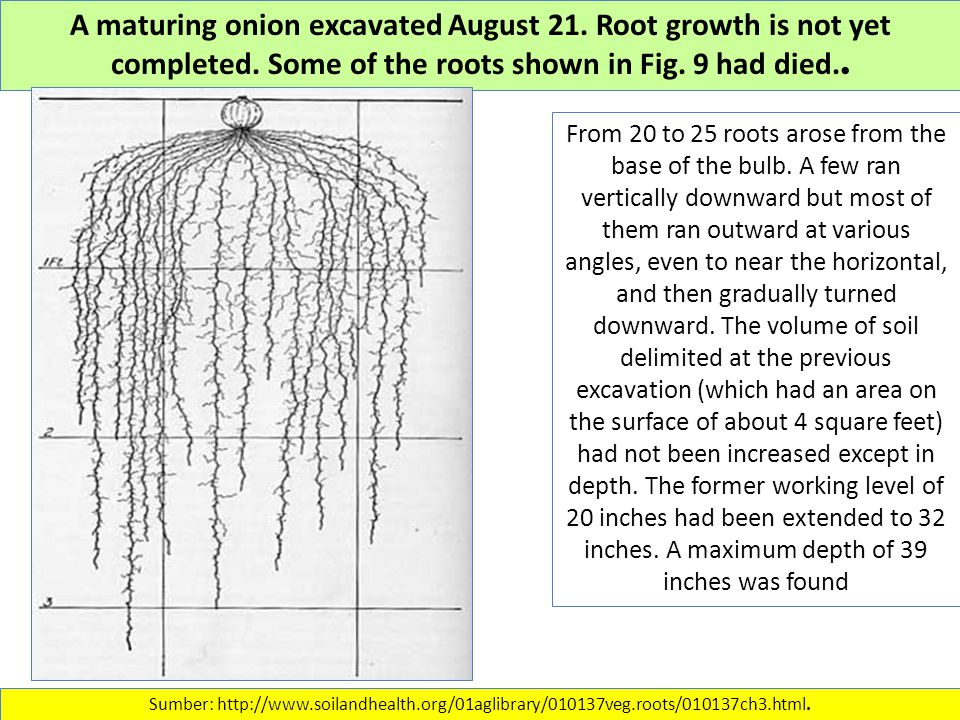 A maturing onion excavated August 21. Root growth is not yet completed.