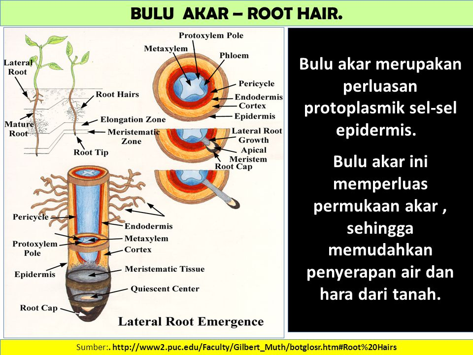 BULU AKAR – ROOT HAIR. Sumber:.