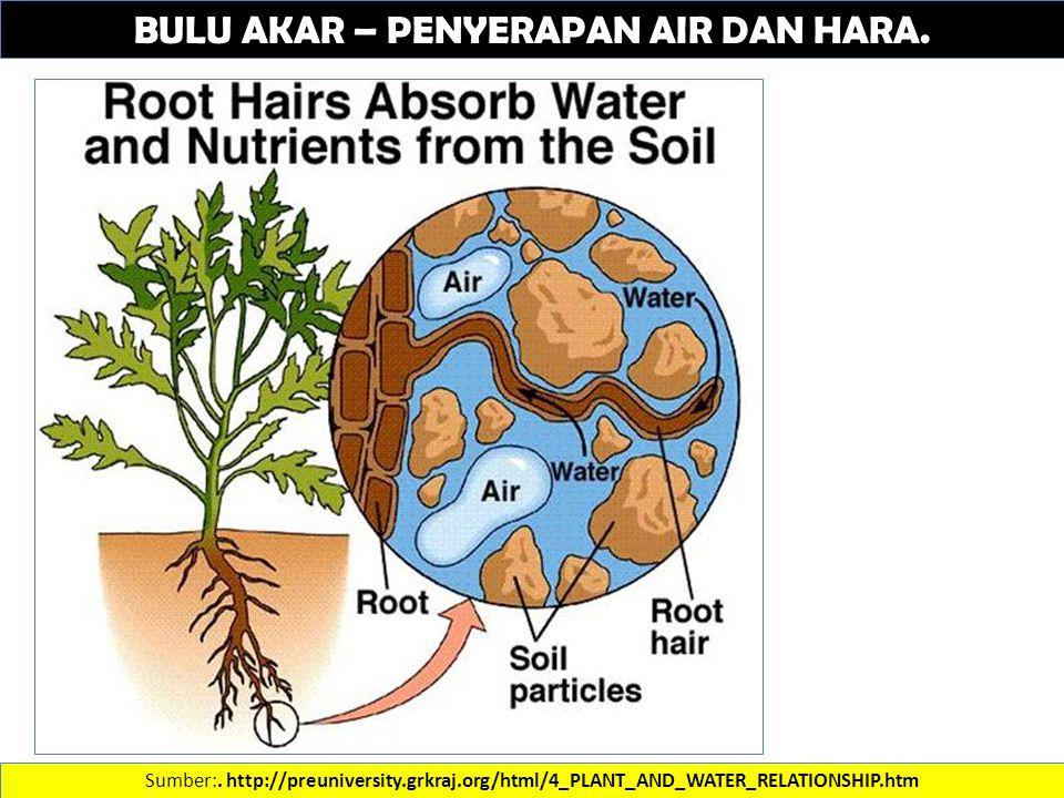 BULU AKAR – PENYERAPAN AIR DAN HARA. Sumber:. http://preuniversity.grkraj.org/html/4_PLANT_AND_WATER_RELATIONSHIP.htm