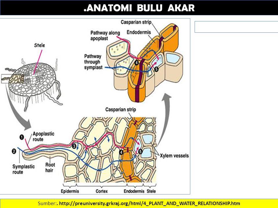 .ANATOMI BULU AKAR Sumber:. http://preuniversity.grkraj.org/html/4_PLANT_AND_WATER_RELATIONSHIP.htm