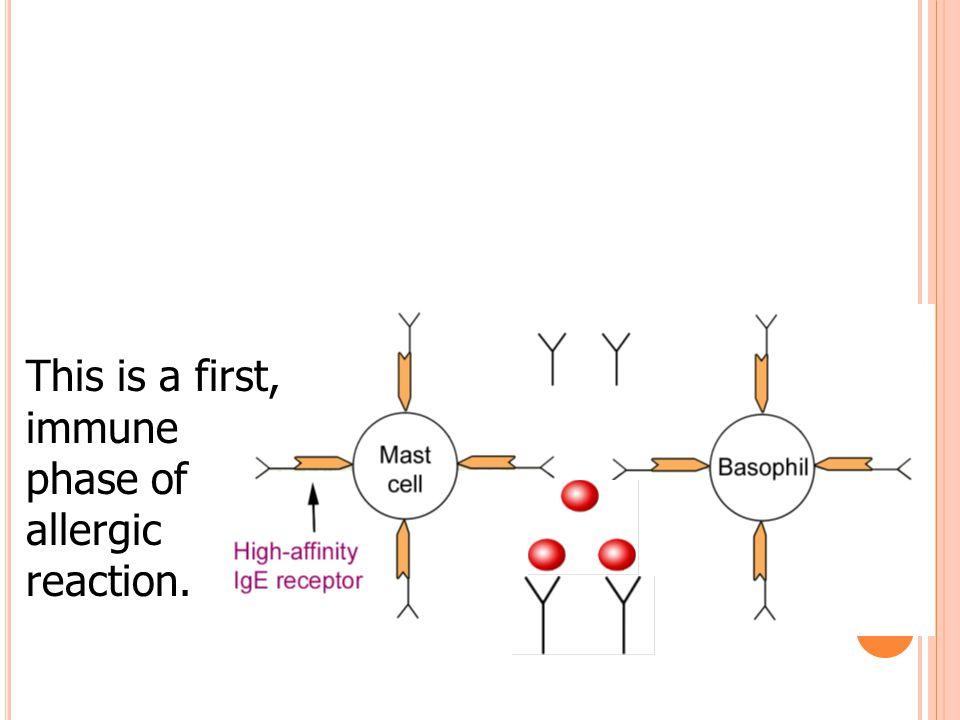 Reaksi antigen – antibodi menyebabkan membran mast cell mengeluarkan senyawa- senyawa kimia (histamine, serotonin, chemotaxis factors, heparin, proteases, thromboxane, leukotrienes, prostaglandins) Keluarnya senyawa-senyawa ini menyebabkan inflamasi, udem mukosa, kejang halus, kelenjar mengalami hipersekresi, pembentukan eksudat kental dalam lumen bronkus.