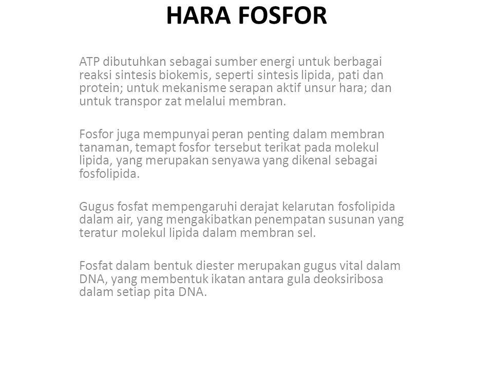 HARA FOSFOR ATP dibutuhkan sebagai sumber energi untuk berbagai reaksi sintesis biokemis, seperti sintesis lipida, pati dan protein; untuk mekanisme s