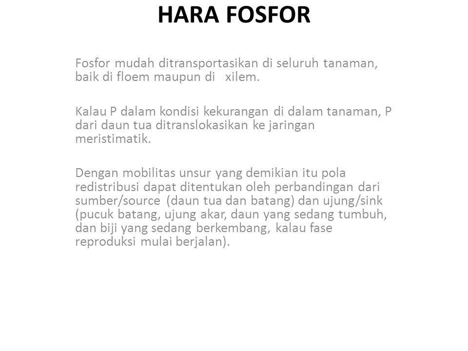 HARA FOSFOR Fosfor mudah ditransportasikan di seluruh tanaman, baik di floem maupun di xilem. Kalau P dalam kondisi kekurangan di dalam tanaman, P dar